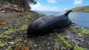 17 golfinhos encontrados mortos após navio derramar petróleo nas Maurícias