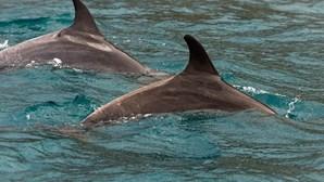 111 golfinhos encontrados mortos no sul de Moçambique