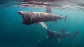 Jovem nada sem medo no meio de tubarões-frade
