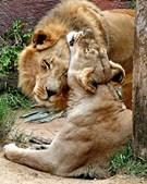 Hubert e Kalisa, dois leões africanos de 21 anos