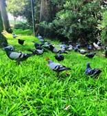 Pombos de Faro têm sido alvo