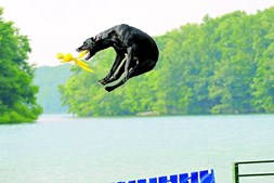 No dockdiving os cães saltam para a água