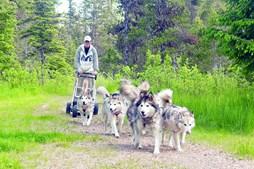 Com neve ou sem ela, o mushing é divertido para cães e donos