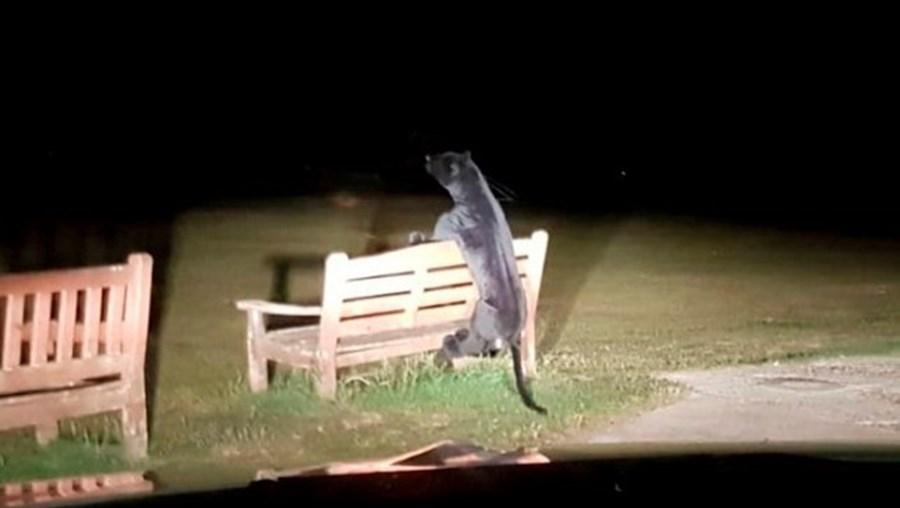 Pantera no parque era de peluche
