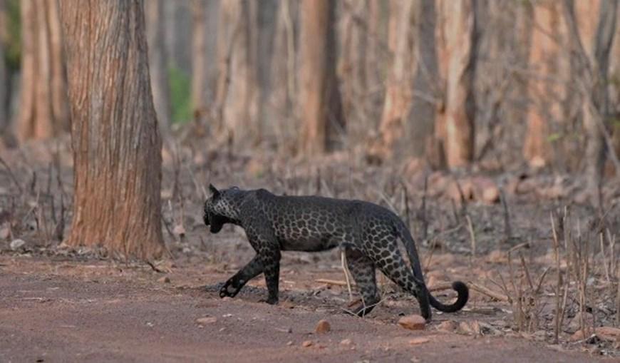 Leopardo negro foi fotografado