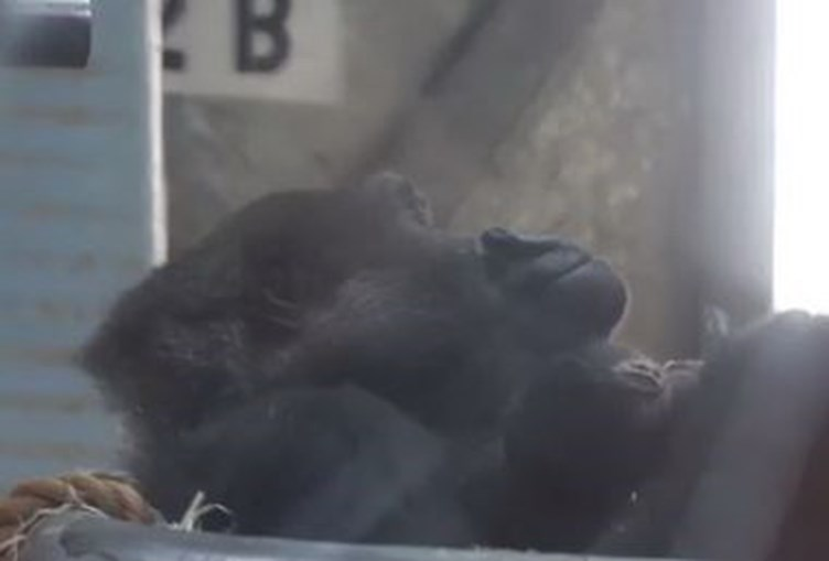 fêmea, cria, gorila
