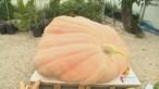 'Isidora', com quase 700 quilos, é a maior abóbora de Portugal. Conheça toda a história