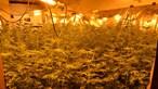 Rouba 52 mil euros em luz para fazer crescer canábis em Aveiro