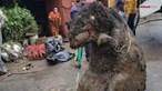 Encontrado 'rato gigante' depois de uma forte tempestade o tirar dos esgotos