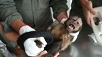GNR captura macaco em casa devoluta em Penafiel. Veja a imagem