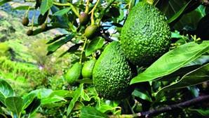 1600 hectares ocupados com abacate no Algarve