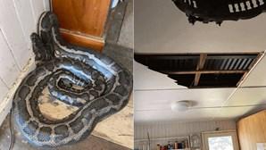 Cobras caem pelo teto da cozinha e deixam homem em choque