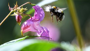 """Abelhas são nova chave no combate ao cancro da mama. Veneno """"é capaz de matar"""" células cancerígenas"""