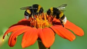 Cientistas treinam abelhas para detetarem Covid-19