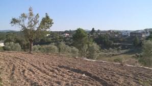 Javalis atacam culturas e assustam moradores em Miranda do Corvo