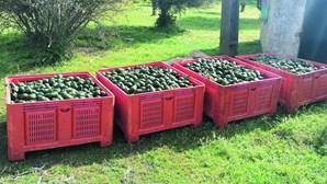 Produtores de abacate e alfarroba registam perdas de 70 mil euros devido a furtos