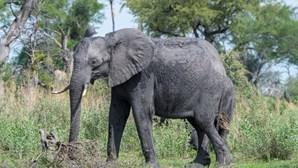 Bactéria já matou centenas de elefantes no Botsuana