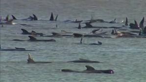 Há mais de 500 baleias encalhadas na Austrália e pelo menos 380 já morreram