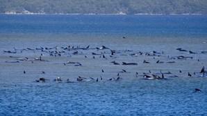 Centenas de baleias encalhadas na Austrália. A maioria está morta