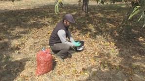 Já se apanham castanhas em Trás-os-Montes