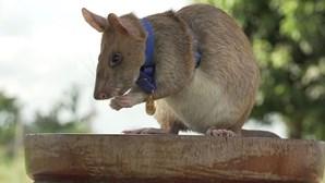 Rato gigante africano torna-se herói e recebe medalha de ouro