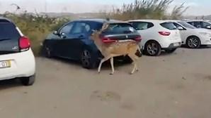 Será este o Bambi da vida real? Veado à solta filmado junto ao hospital de Loures. Veja as imagens