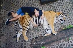 Waraschaya 'Khun' Akkarachaiyapas a fazer festas ao tigre