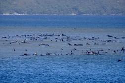 Baleias encalhadas na Tasmânia