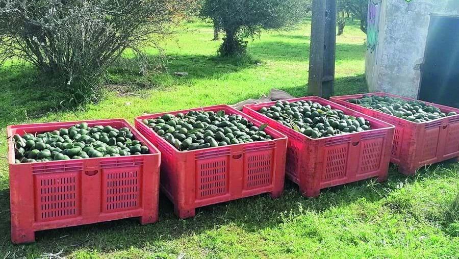 A GNR já realizou 28 detenções, em flagrante, desde o início do ano, por furtos de abacates e também de alfarrobas