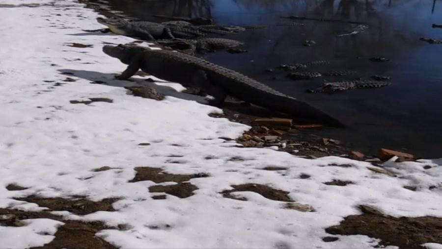 Jacarés a apanhar sol na neve no Colorado, EUA