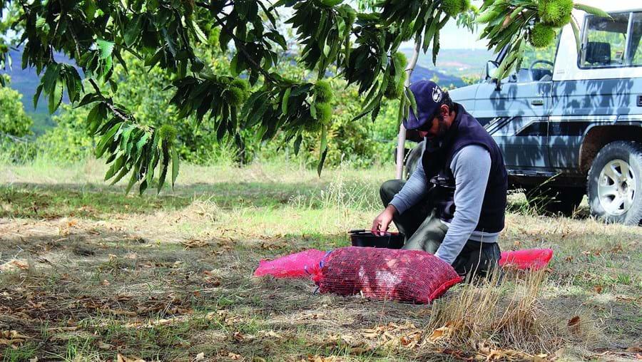 Na região transmontana, a produção de castanha representa mais de 20 milhões de mais-valias económicas