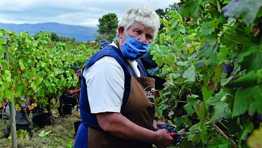 Maria Guerrinha, de 66 anos, usa máscara enquanto trabalha na vindima, em Vila Nova de Tazem