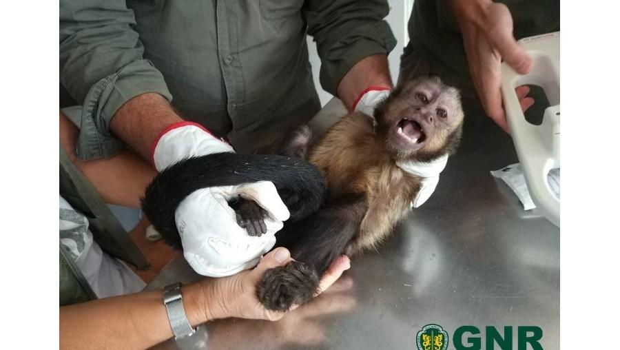 Macaco capturado em Penafiel