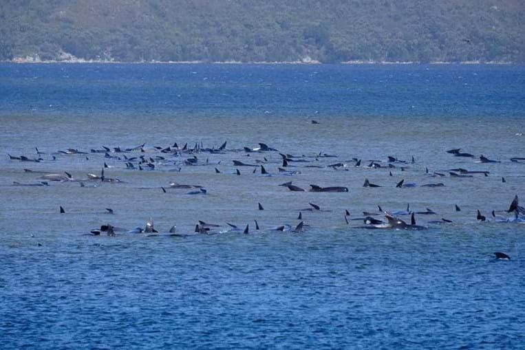 Centenas de baleias encalhadas na Austrália