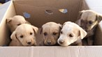 GNR resgata sete cães bebés abandonados à berma da estrada
