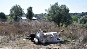Carcaças de gado morto por doença a céu-aberto