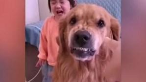 Cão Golden Retriever protege menina a chorar ao ser repreendida pela mãe