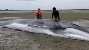 Baleia com 13 metros viva fica encalhada na Ria de Aveiro. Vejas as imagens do resgate
