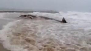 Encontrada baleia morta em praia do Algarve
