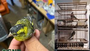 Agressor tinha aves ilegais nas Caldas da Rainha