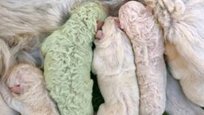 Nasceu um cão verde em Itália e o dono chamou-lhe Pistacchio