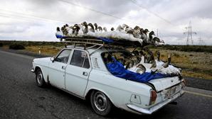 Motorista transporta gansos no tejadilho do carro