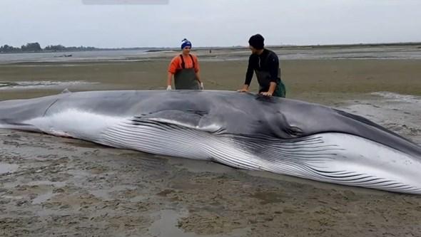 Baleia com 13 metros viva fica encalhada na Ria de Aveiro. Veja as imagens do resgate