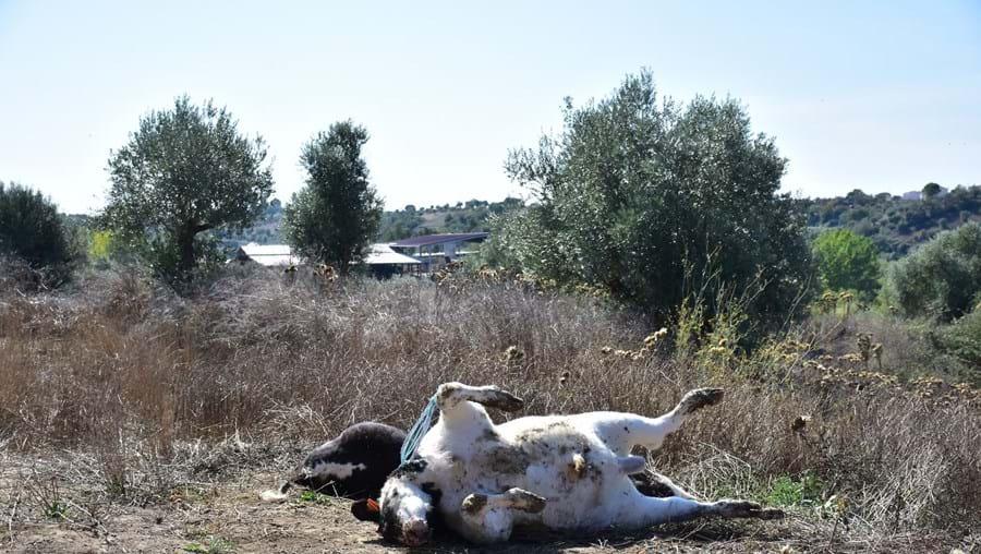 Habitantes de São Vicente do Paul não entendem porque razão o gado morto não é depositado noutro local