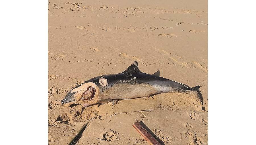 Golfinho morto empurrado pela ondulação para a praia do Vau