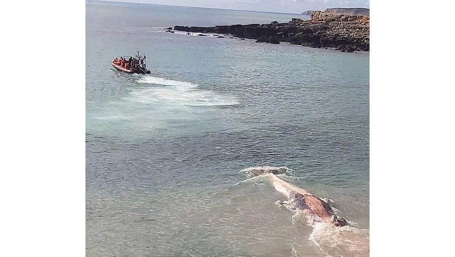 Baleia morta com 10 metros de comprimento dá à costa em praia de Vila do Bispo