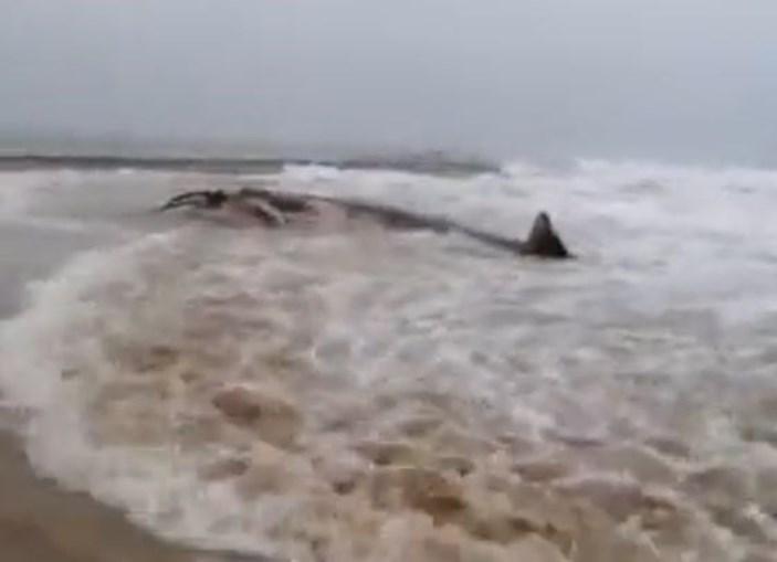 Encontrada baleia morta na praia da rocha, no Algarve