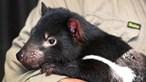 Três mil anos depois... os diabos da Tasmânia estão de volta à vida selvagem