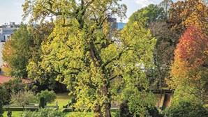 Tulipeiro com três séculos candidata a árvore europeia do ano