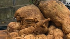 Uma batata-doce com 75 quilos? Sim! É o recorde do mundo e foi cultivada em Peniche